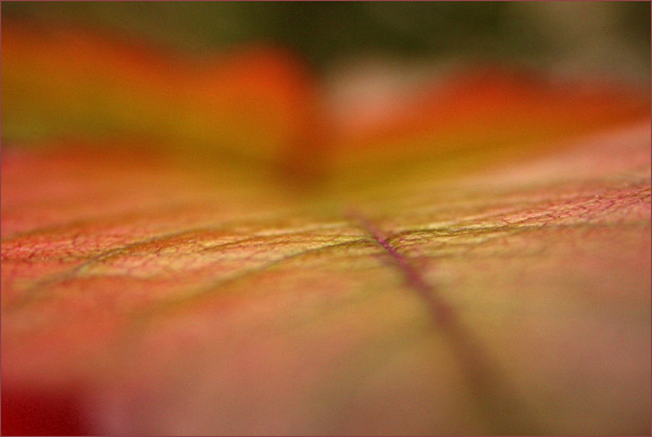 Autumn leaf .IV